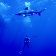 longimanus shark and dive guide